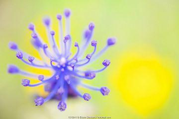 Tassel hyacinth (Muscari comosum) flower. Cyprus. April.
