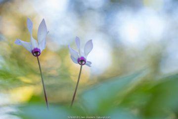 Persian cyclamen (Cyclamen persicum) flowers. Cyprus. April.