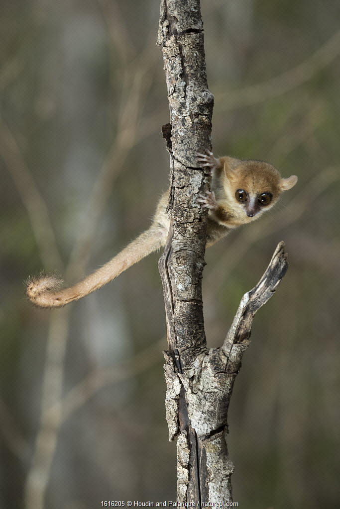 Madame Berthe's Mouse Lemur (Microcebus berthae), the worlds smallest primate, Kirindy forest, Madagascar.