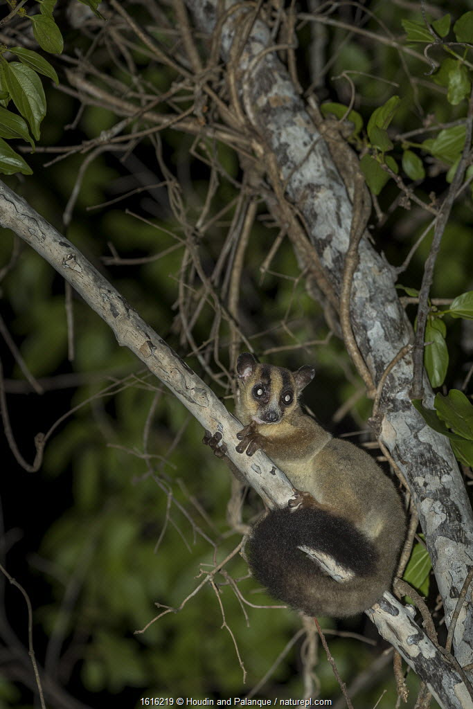 ale fork-marked lemur (Phaner pallescens) in search for food at night, Kirindy Deciduous Forest, Madagascar.