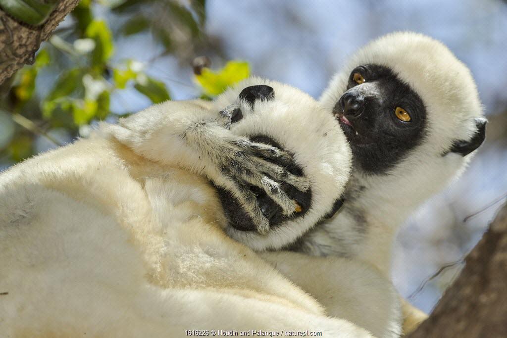 Decken's sifaka (Propithecus deckenii) grooming each other, Tsimembo area, Madagascar.