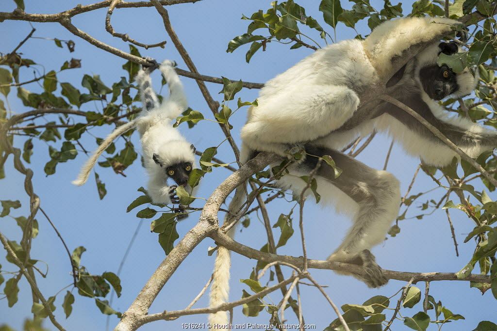 Decken's sifaka (Propithecus deckenii) female and young playing, Tsimembo area, Madagascar.