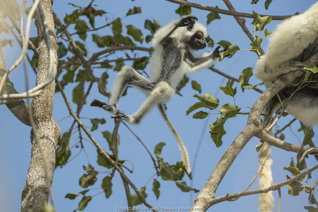 Decken's sifaka (Propithecus deckenii) female and his young playing, Tsimembo area, Madagascar.