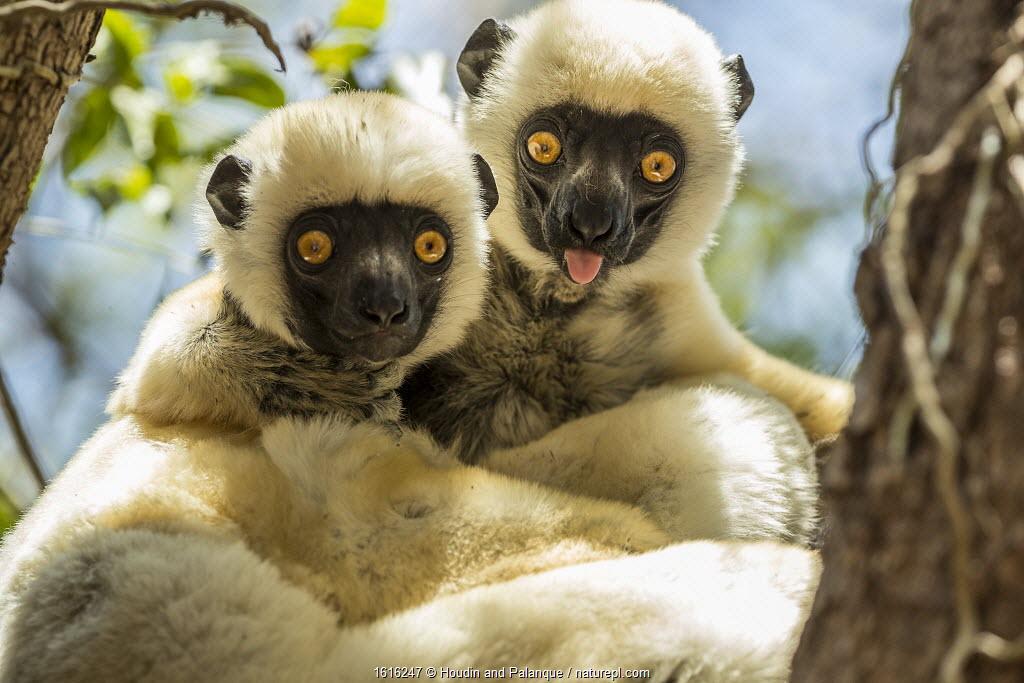 Decken's sifakas (Propithecus deckenii) grooming each other, Tsimembo area, Madagascar.