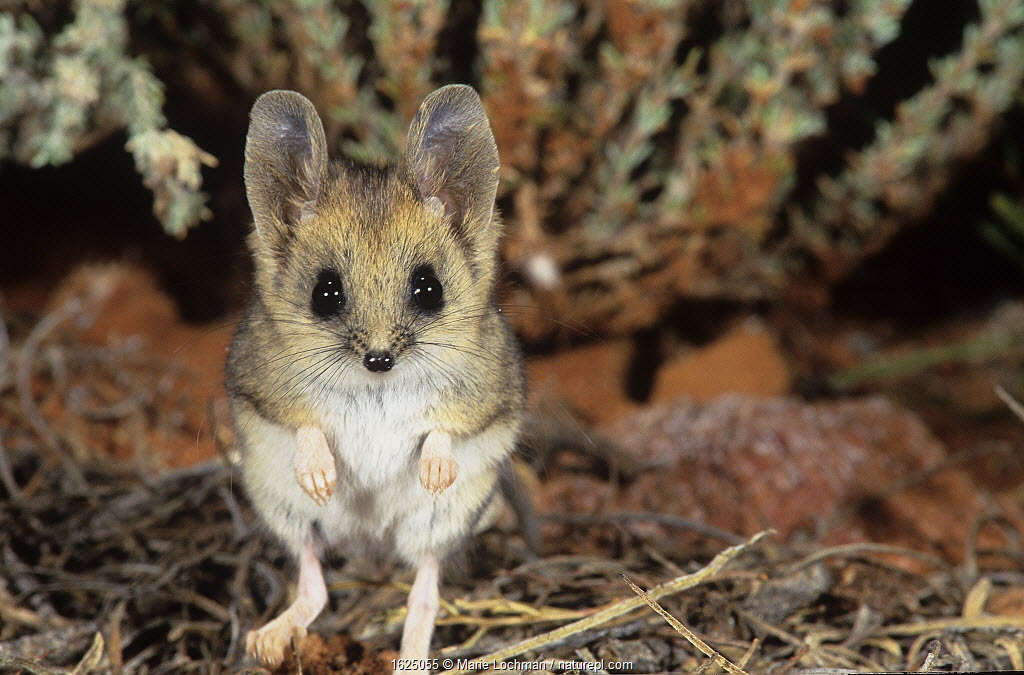Fat-tailed dunnart (Sminthopsis crassicaudata) Goongarrie NP in Goldfields Region of Western Australia.