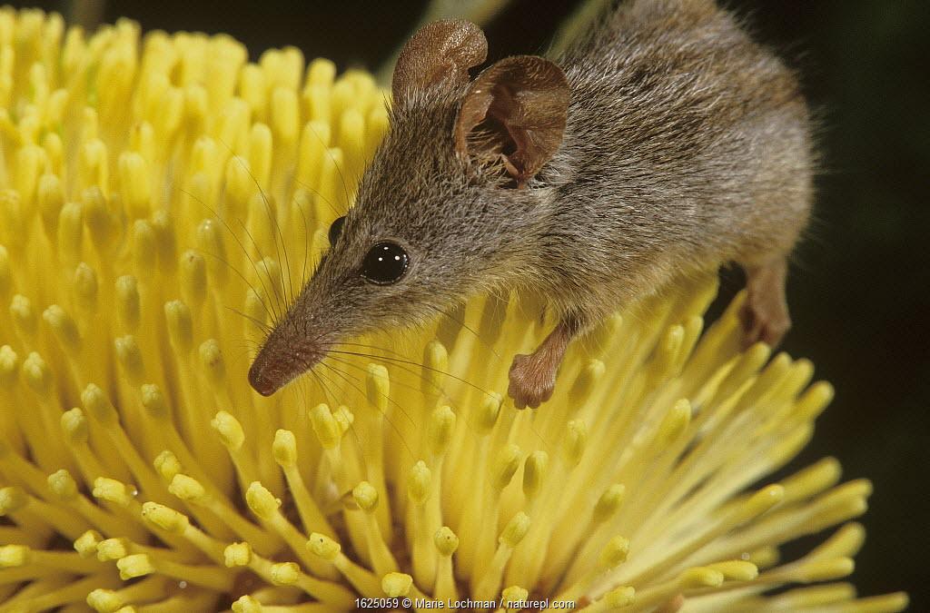 Honey possum (Tarsipes rostratus) on Lemann's Banksia (Banksia lemanniana) Mount Gibbs Nature Reserve, Wheat-belt Region of Western Australia.