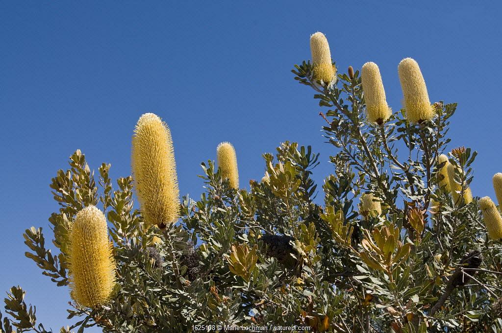 Sceptre Banksia (Banksia sceptrum), Western Australian endemic plant, Kalbari National Park, Western Australia.