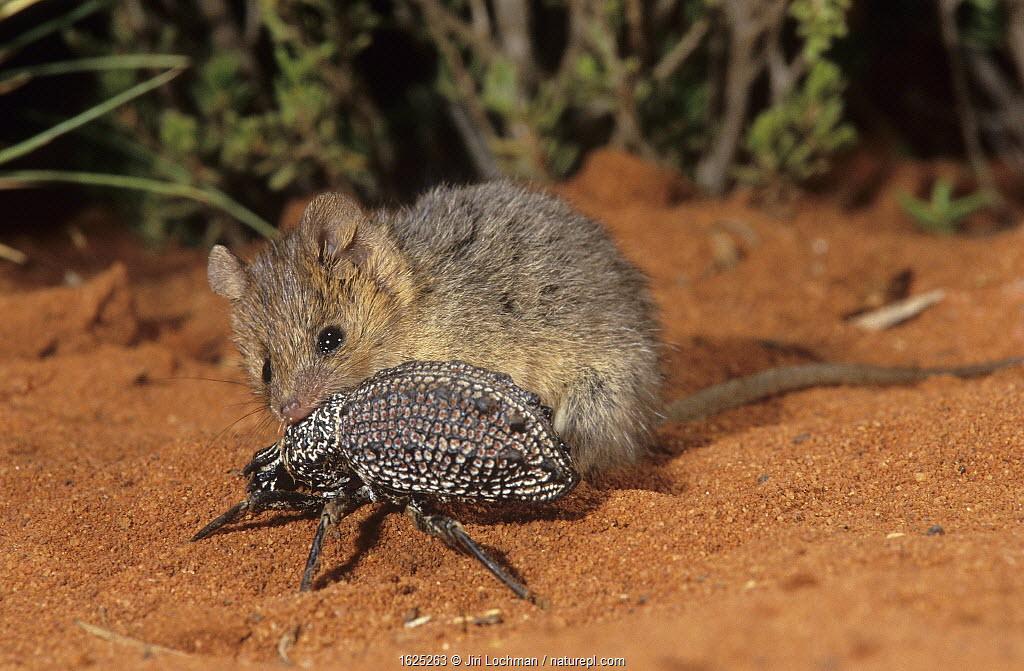 Wongai Ningaui (Ningaui ridei) catching beetle, Goongarrie NP, at the western egde of Great Victoria Desert, Western Australia.