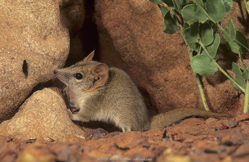 Fat-tailed pseudantechinus (Pseudantechinus macdonnellensis) Picture Hill area, in Great Sandy Desert, Western Australia.