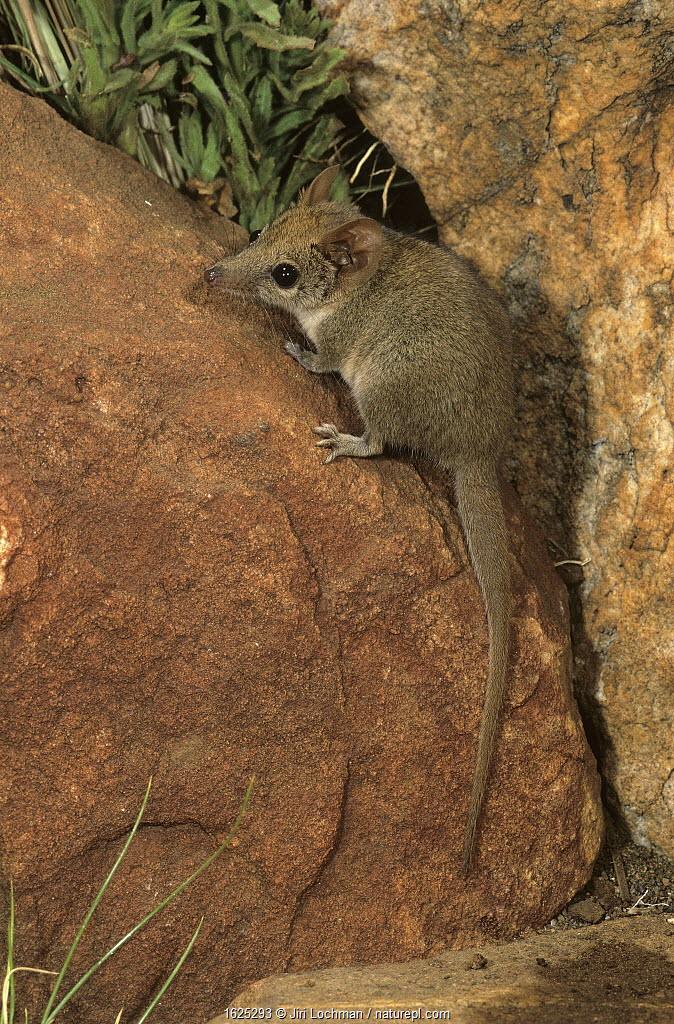 Ningbing pseudantechinus (Pseudantechinus ningbing) Mornington Station, in the Kimberley, Western Australia.