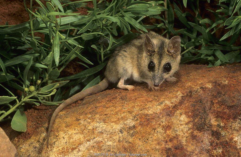 Stripe-faced dunnart (Sminthopsis macroura); Range NP, Western Australia.