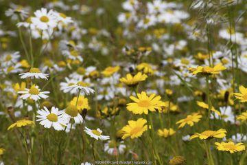 Corn Marigold (Chrysanthemum segetum) and Scentless mayweed (Tripleurospermum inodorum) machair habitat, North Uist, Scotland, UK, July.