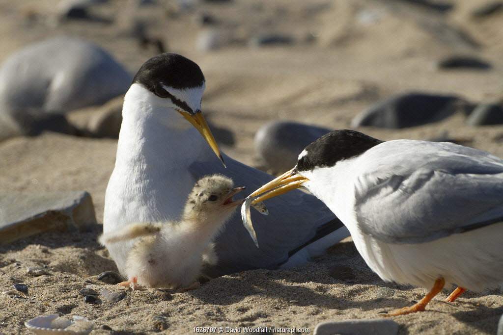 Little tern (Sterna albifrons ) feeding sand eel (Hyperoplus spp) to young chick.