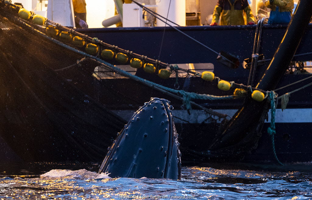 Humpback whale (Megaptera novaeangliae) feeding around herring fishing vessel. Kvanangen, Troms, Norway. November