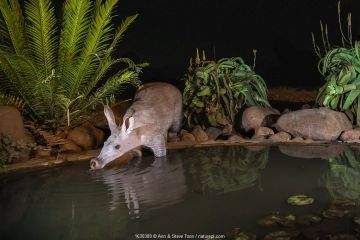 Aardvark (Orycteropus afer) drinking at night, Zimanga private game reserve, KwaZulu-Natal, South Africa.