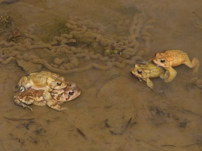 American toads (Anaxyrus americanus), several males competing to mate with female, Maryland, USA, April.