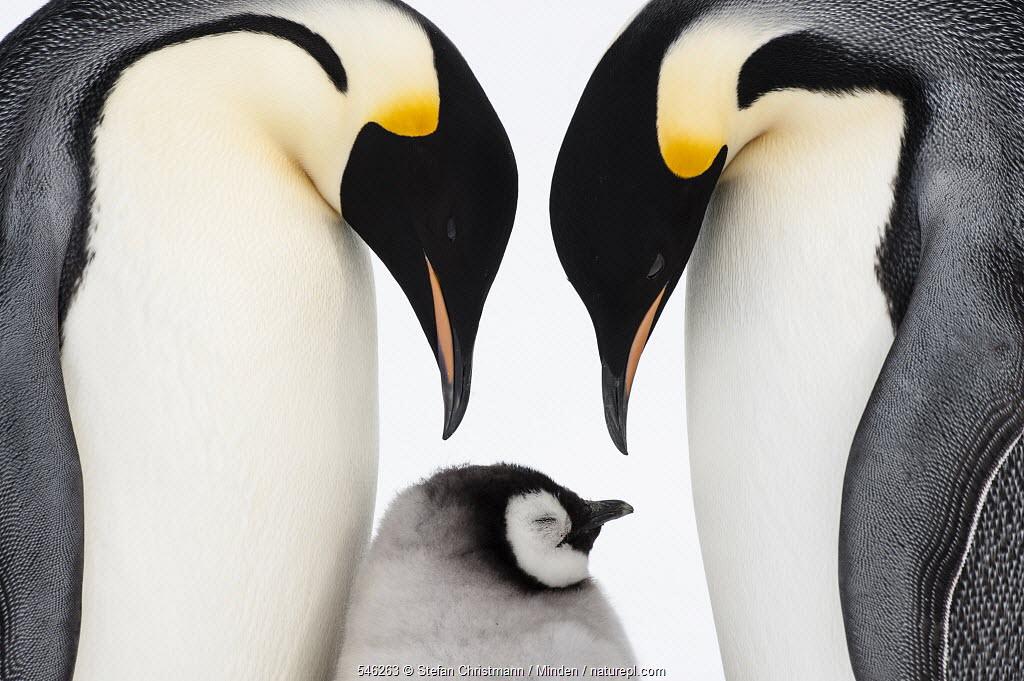 Emperor Penguin (Aptenodytes forsteri) parents with chick, Queen Maud Land, Antarctica