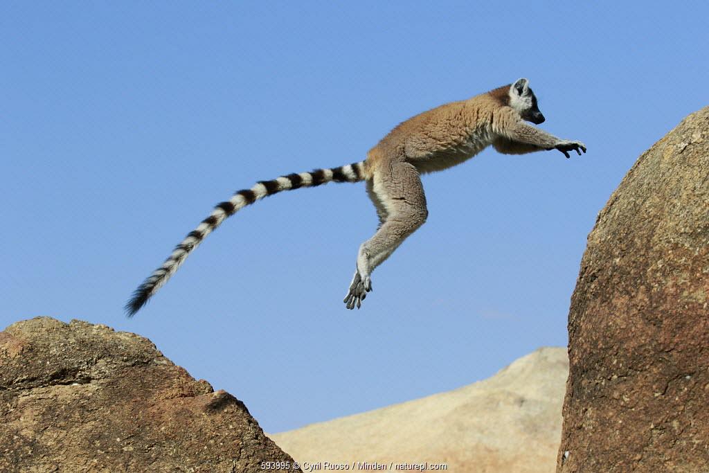 Ring-tailed Lemur (Lemur catta) jumping, Anja Park, Madagascar