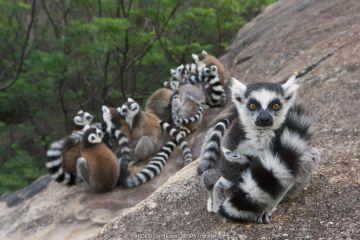 Ring-tailed Lemur (Lemur catta) group huddling for warmth, Anja Park, Madagascar