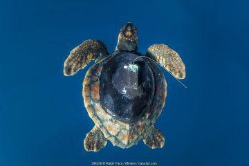 Loggerhead Sea Turtle (Caretta caretta) juvenile with tracking tag, San Diego, California