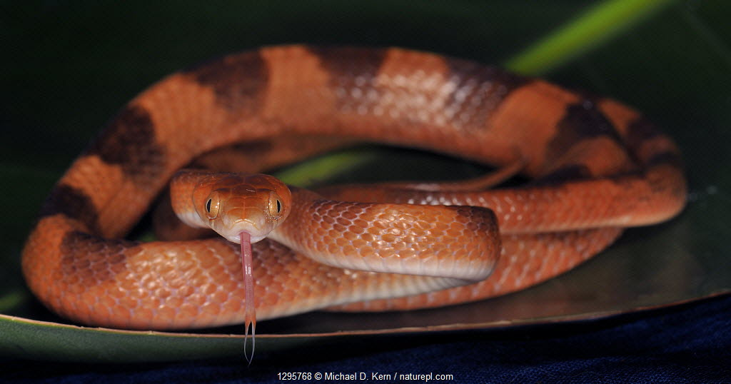 Tropical flat snake (Siphlophis compressus) captive, from South America