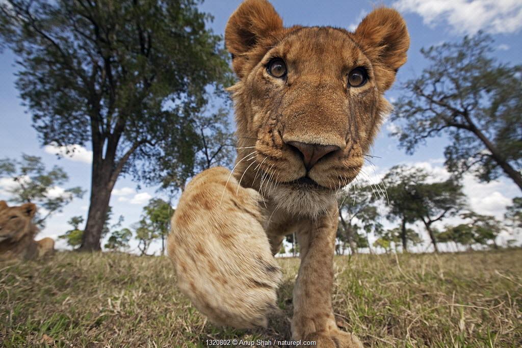 African Lion (Panthera leo) juvenile reaching out with curiosity, Masai Mara National Reserve, Kenya.