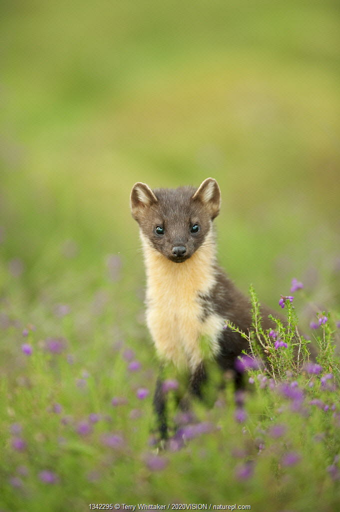 Pine marten (Martes martes) adult female portrait in Caledonian forest, The Black Isle, Highlands, Scotland, UK, July.