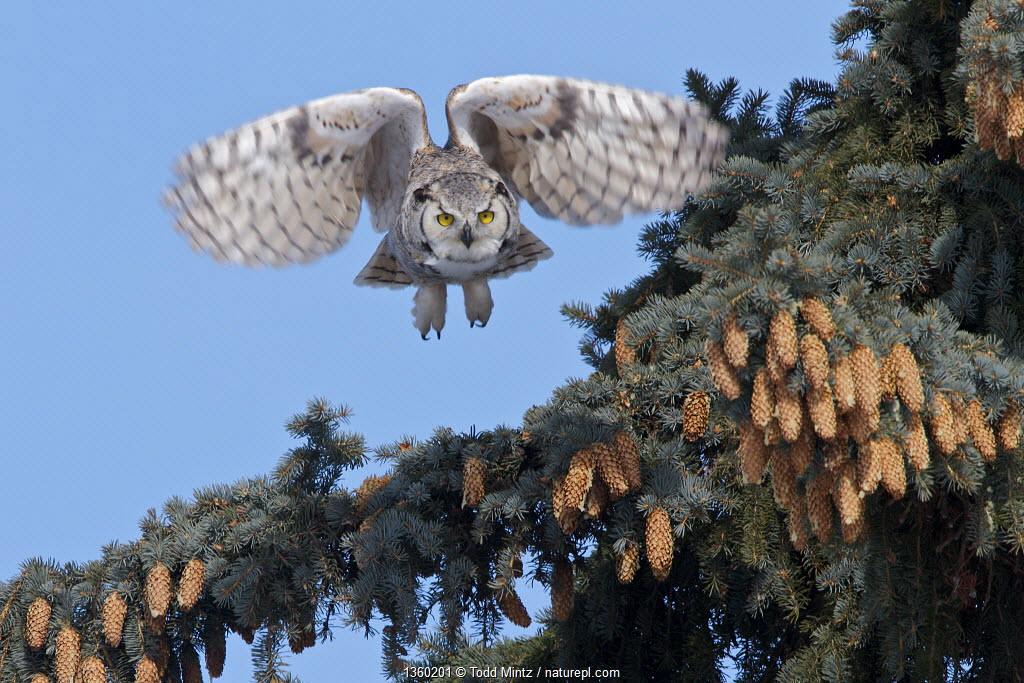 Great Horned owl, (Bubo virginianus) in flight, Regina, Saskatchewan, Canada, March