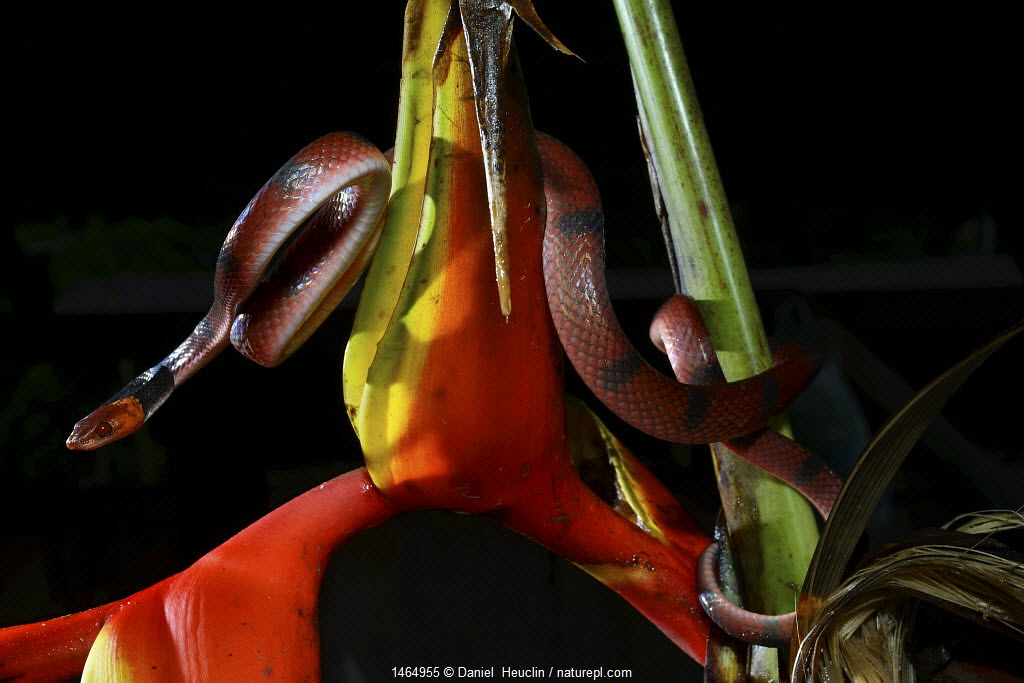 Tropical flat snake (Siphlophis compressus) in Heleconius flower, French Guiana.