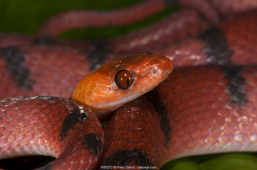 Tropical flat snake (Siphlophis compressus) Yasuni National Park, Amazon Rainforest, Ecuador. South America.