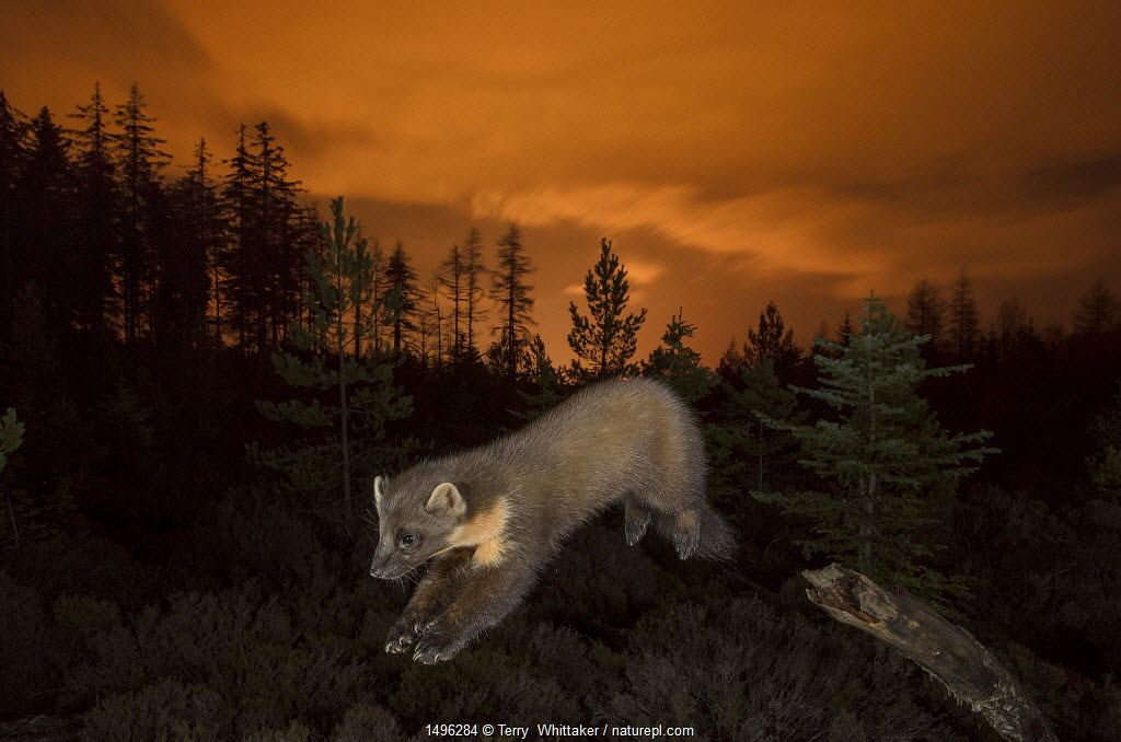 https://www.naturepl.com/stock-photo/pine-marten-(martes-martes)-leaping-from-branch-orange-glow-in-sky-behind/search/detail-0_01496284.html