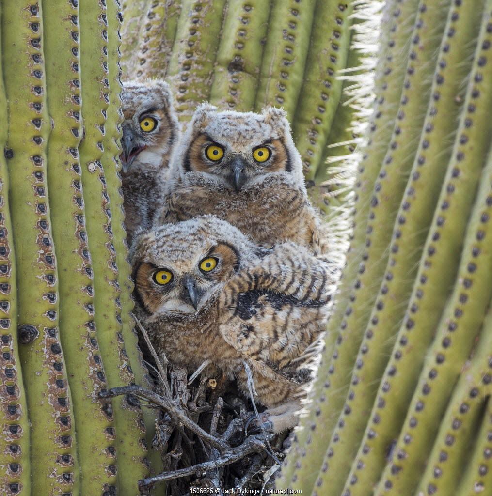 Great horned owl (Bubo virginianus) chicks nesting in saguaro cactus (Carnegiea gigantea), near Oracle, Sonoran Desert, Arizona, USA, May.