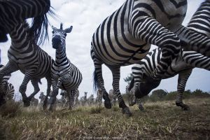 Common or Plains zebra (Equus quagga burchellii) herd running, wide angle perspective taken with a remote camera. Maasai Mara National Reserve, Kenya.