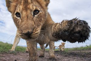 Lion (Panthera leo) cub aged about 11 months investigating camera with curiosity, Maasai Mara National Reserve, Kenya.
