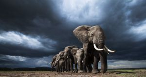 African elephants (Loxodonta africana) family herd feeding on loose soil for its minerals, with dramatic stormy skies behind, Maasai Mara National Reserve, Kenya.