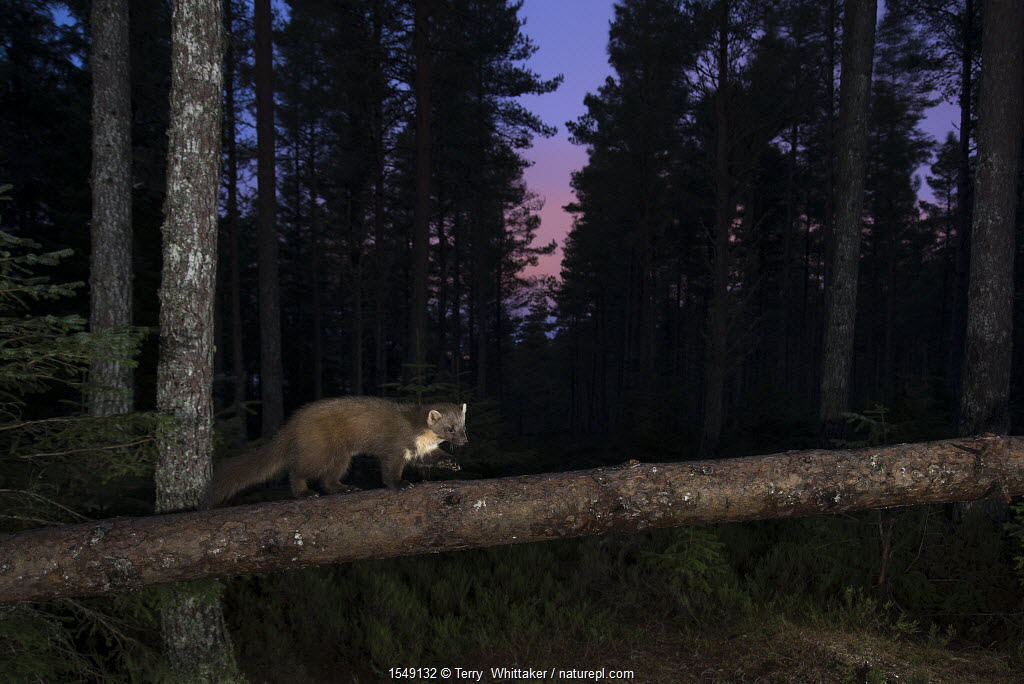 Pine marten (Martes martes) walking along fallen Pine (Pinus) branch at night, Black Isle, Scotland, UK. February taken by camera trap.