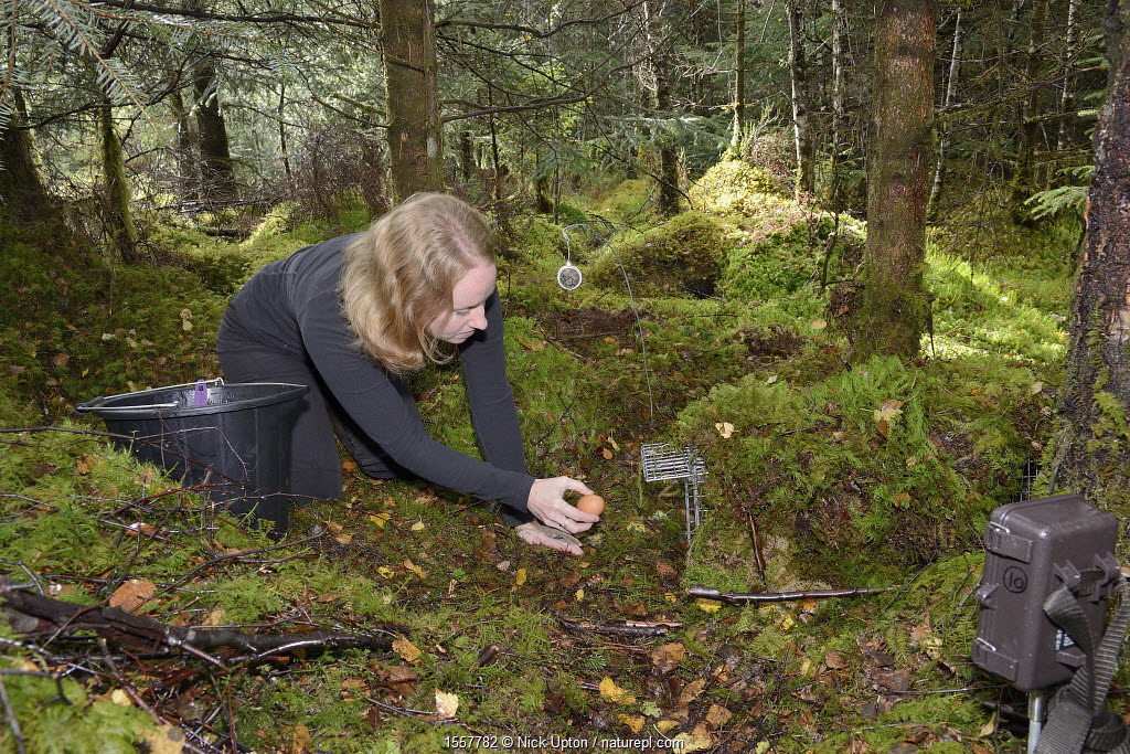 Lizzie Croose uses an egg to bait a live trap set for Pine martens (Martes martes) in mixed conifer and birch woodland, with a trailcam set in the foreground, during a reintroduction project to Wales run by the Vincent Wildlife Trust, Scottish Highlands, September 2016. Model released.