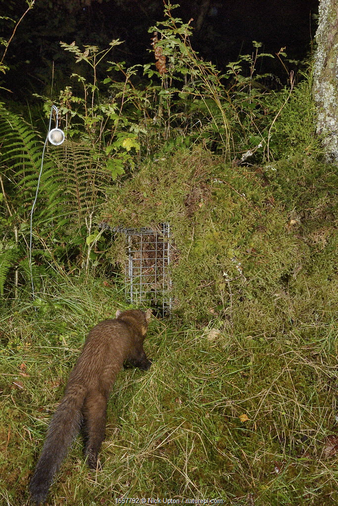 Pine marten (Martes martes) visiting a live trap, pre-baited but not yet set in coniferous woodland, during a reintroduction project to Wales run by the Vincent Wildlife Trust, Scottish Highlands, September 2016. Taken with a remote camera trap.