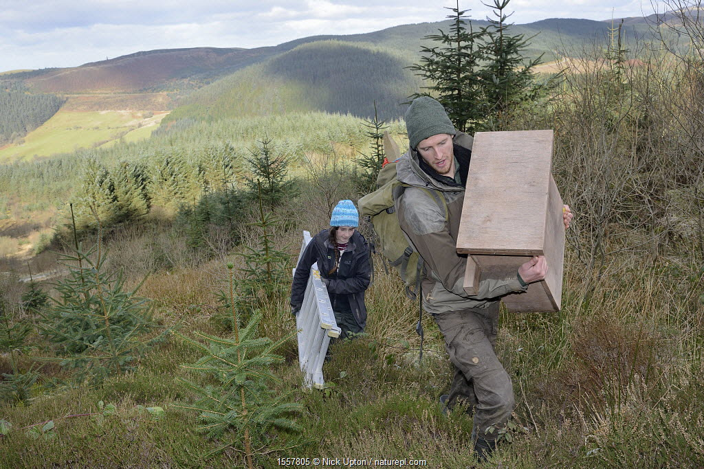 David Bavin carrying a wooden den box to be fixed to a tree for use by Pine martens (Martes martes) reintroduced to Wales by the Vincent Wildlife Trust, as Josie Bridges carries a ladder for access, Cambrian Mountains, Wales, UK, February 2016. Model released.