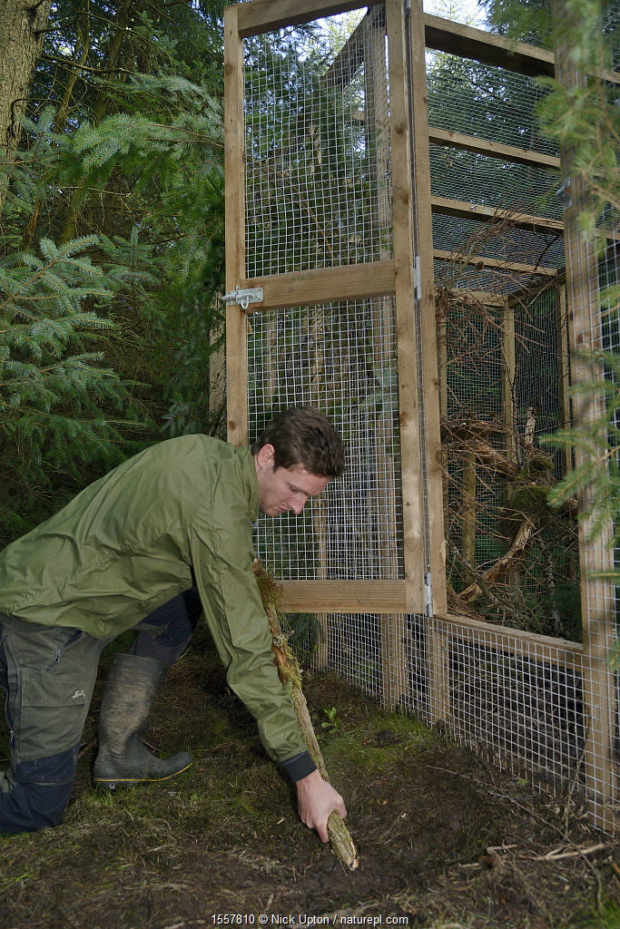 David Bavin props open the door of a soft release cage to allow a Pine marten (Martes martes) to emerge when it is ready, during a reintroduction project by the Vincent Wildlife Trust, Cambrian Mountains, Wales, UK, September 2016. Model released.