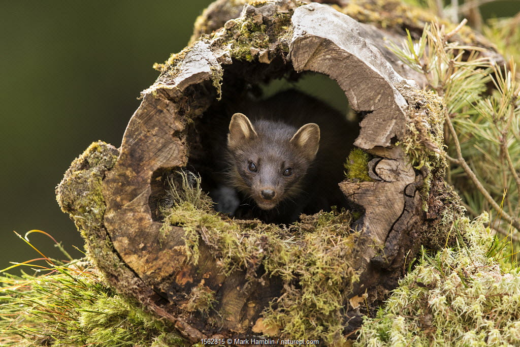 Pine Marten (Martes martes) emerging from hollow log, Perthshire, Scotland, UK, May.