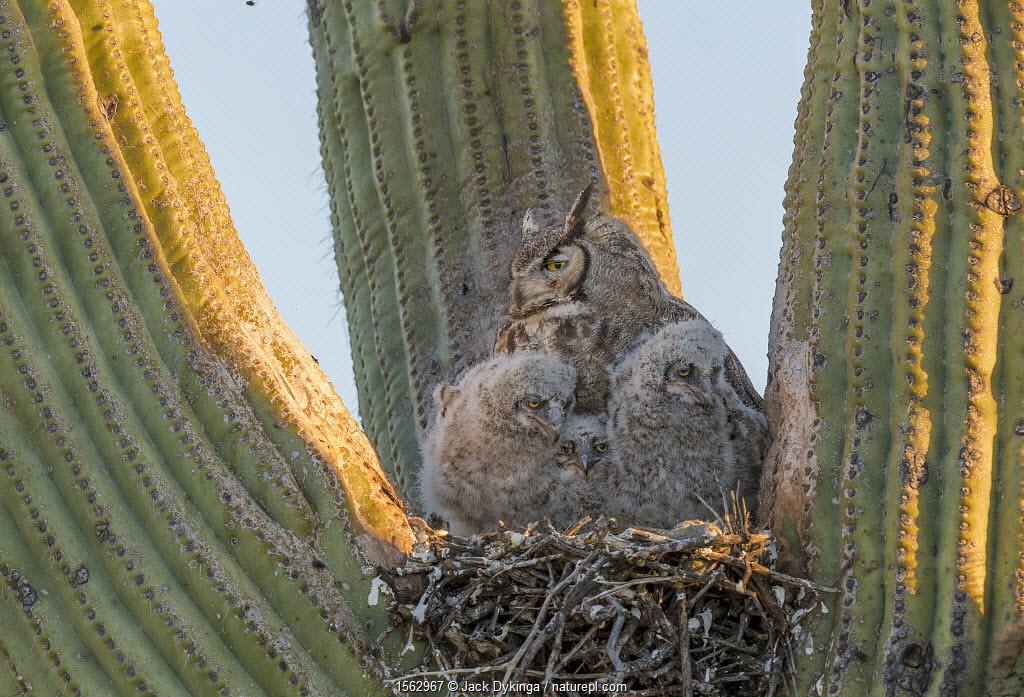 Horned owl (Bubo virginianus) nest in Saguaro cactus, with parent and chicks, Santa Catalina Mountain Foothills, Sonoran Desert, Arizona, USA, April.