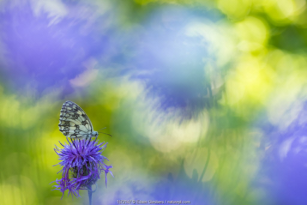 Marbled white butterfly (Melanargia galathea) on knapweed with soft focus flowers, Aosta Valley, Gran Paradiso National Park, Italy.