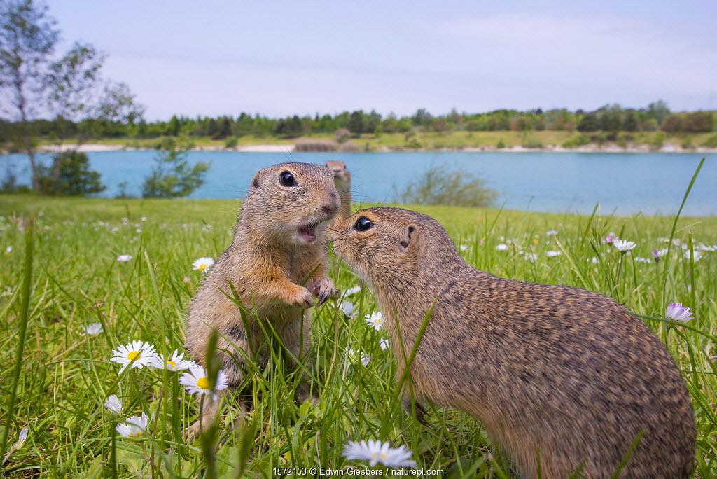 European ground squirrels / Sousliks (Spermophilus citellus)greeting, Gerasdorf, Austria. April.
