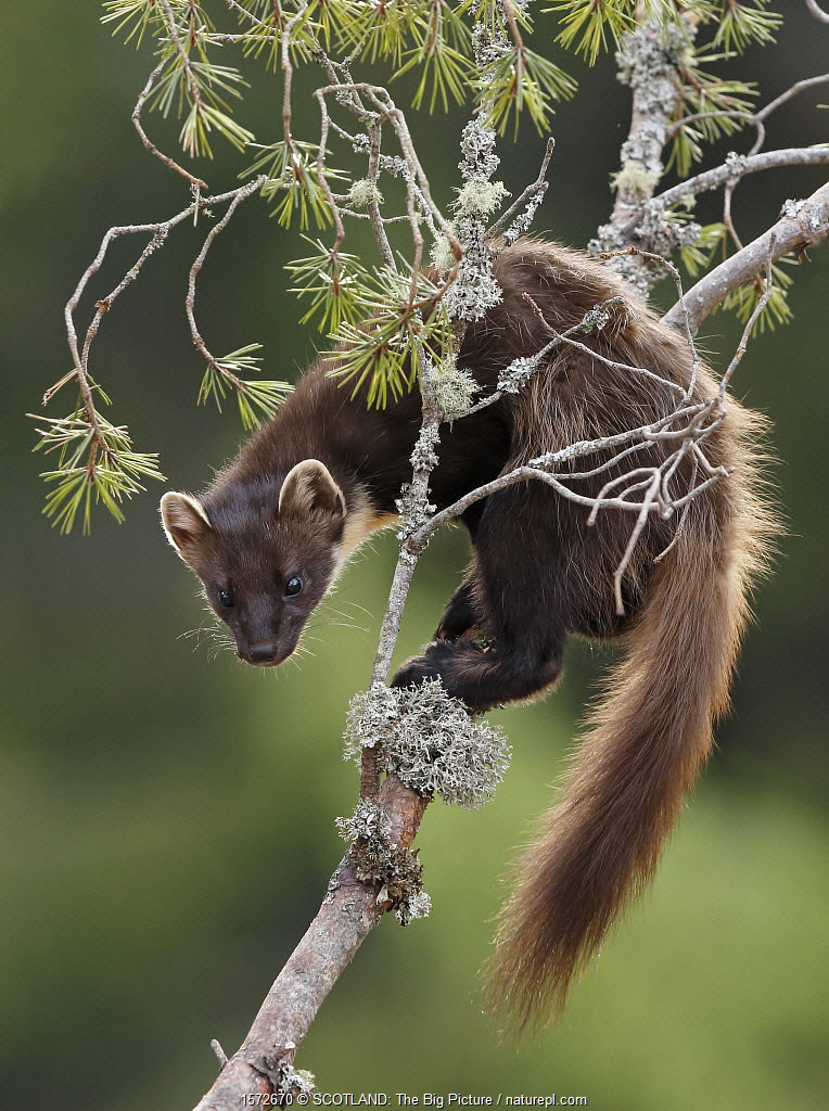 Pine marten (Martes martes) on branch of Scots pine tree. Perthshire, Highlands, Scotland, UK, May.
