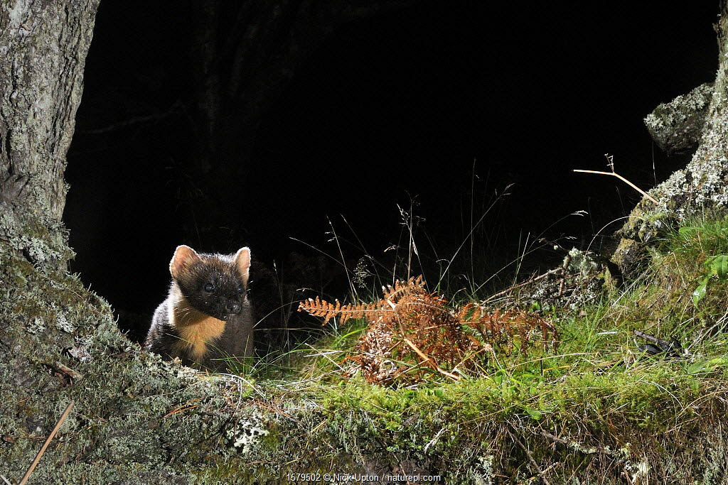Pine Marten (Martes martes) foraging at night in mixed coniferous and birch woodland in the area where live traps were set for a reintroduction project to Wales by the Vincent Wildlife Trust, Scottish Highlands, UK, September 2016. Photographed by a remote camera trap.