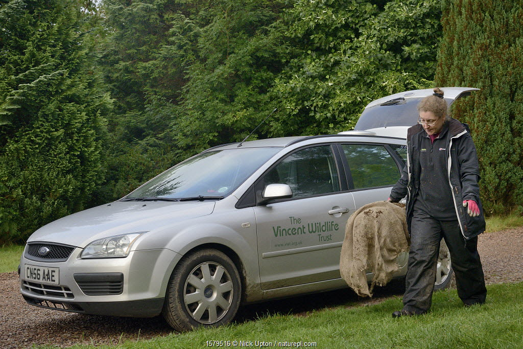 Dr. Jenny Macpherson carrying a live trap containing a Pine Marten (Martes martes) caught in Scottish woodland to a mobile vet clinic in a caravan for a radiocollar to be fitted, for a reintroduction project to Wales run by the Vincent Wildlife Trust, Highland region, Scotland, September 2016. Model released.