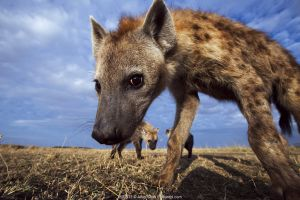 Spotted hyena (Crocuta crocuta) approaching remote camera with curiosity, taken with a remote camera controlled by the photographer. Maasai Mara National Reserve, Kenya.