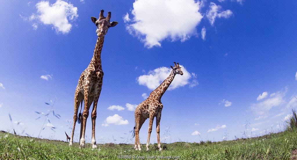 Maasai giraffe (Giraffa camelopardalis tippelskirchi) and calf walking - remote camera perspective. Maasai Mara National Reserve, Kenya.