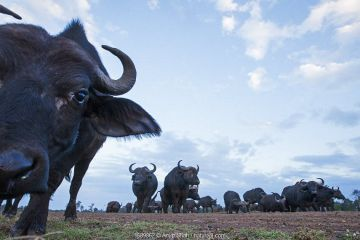 Cape buffalo (Syncerus caffer) adolescent approaching remote camera with curiosity, Maasai Mara National Reserve, Kenya.